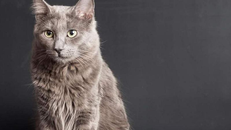 Нибелунг внешне похож на русскую голубую кошку