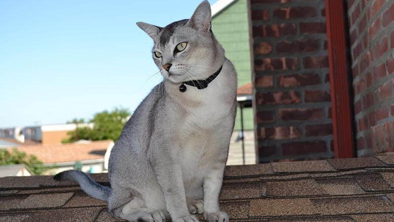 Воспитанные кошки породы бурмилла
