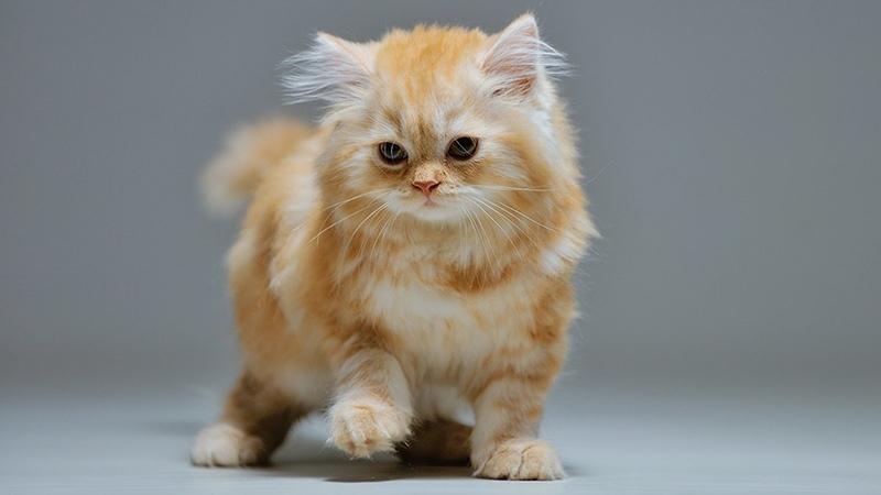 Питомники шотландских длинношерстных кошек
