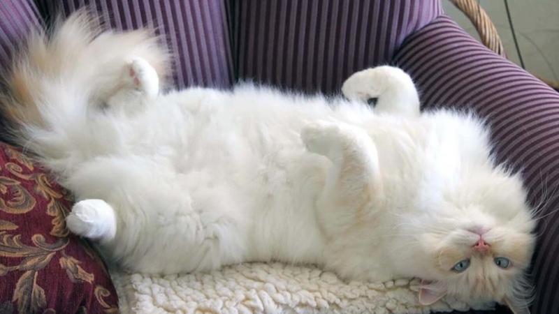 Рагамаффин - дорогостоящие кошки
