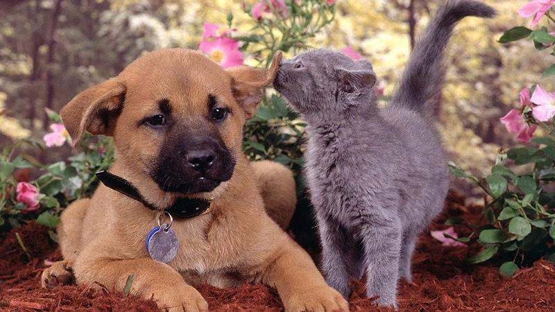 Русская голубая кошка может подружиться с собакой