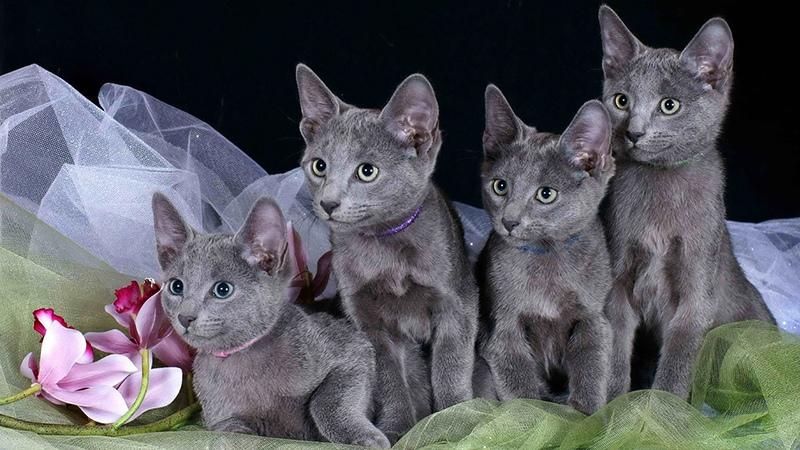 Характер и поведение кошки русской голубой
