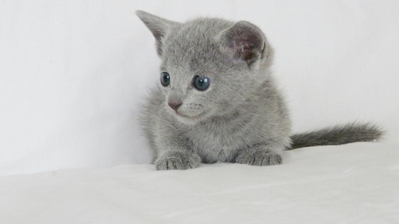 Котенок русской голубой долго адаптируется в новом доме