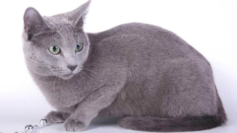 Как воспитать русскую голубую кошку