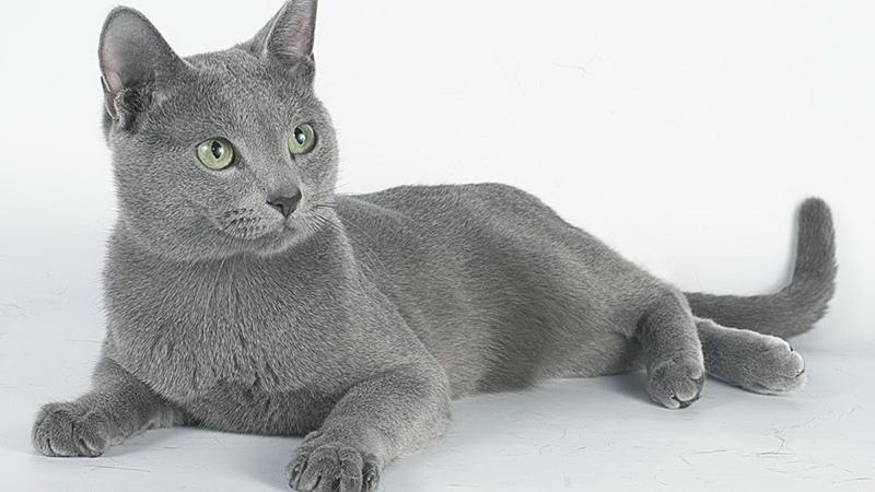 Правила по уходу за русской голубой кошкой