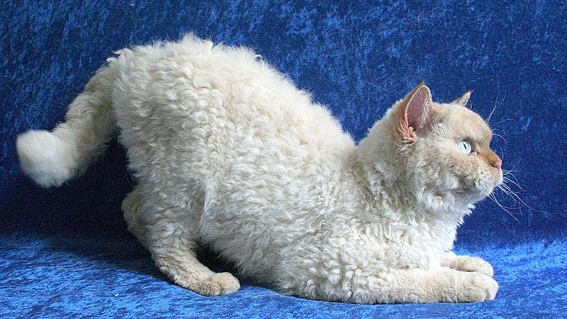 Кошки селкирк рекс имеют дружелюбный характер