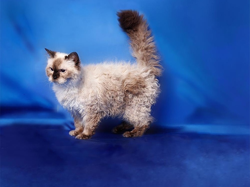 Кошка селкирк-рекс стандарт породы характер особенности ухода