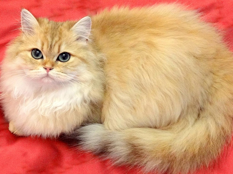 Шотландская длинношерстная кошка