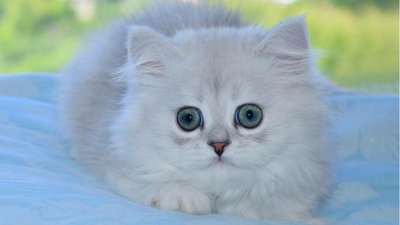 История происхождения шотландских кошек