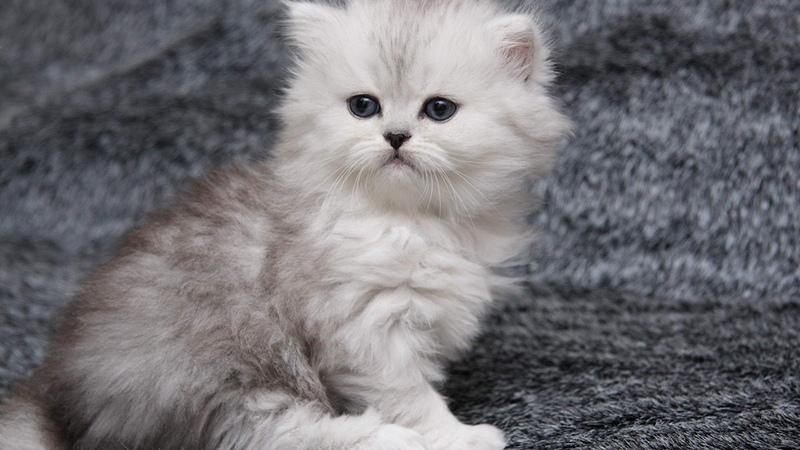 Котенок-шотландец окрас шиншилла