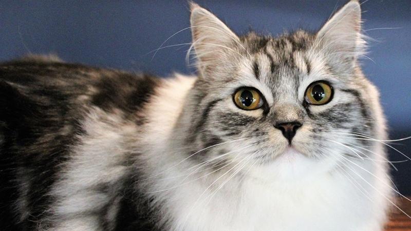 Рагамаффины - дружелюбные кошки