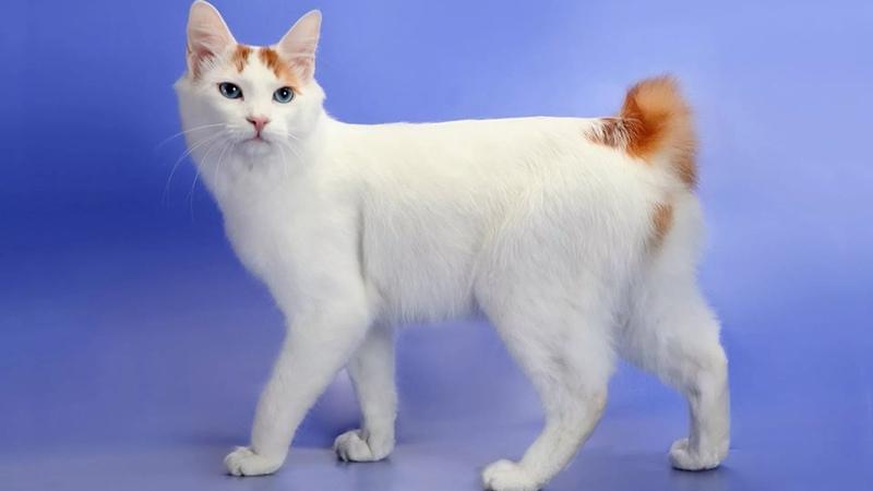 Японский бобтейл - очень активный кот с неугомонным характером!