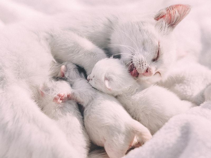 Как понять что кошка рожает