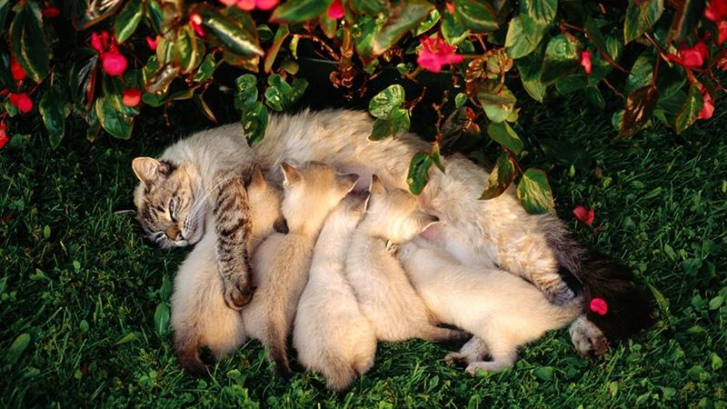 Кошка ухаживает за своим потомством