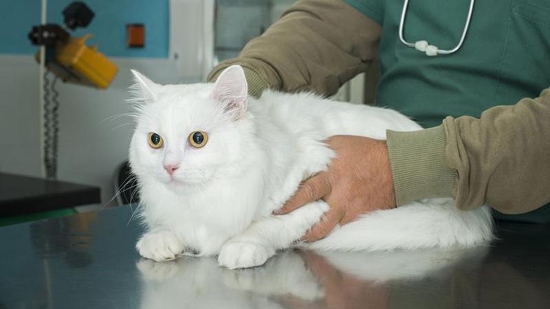 Причины развития почечной недостаточности у кошек