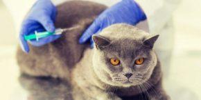 Прививки британским котятам – защищаем маленького пушистика от болезней