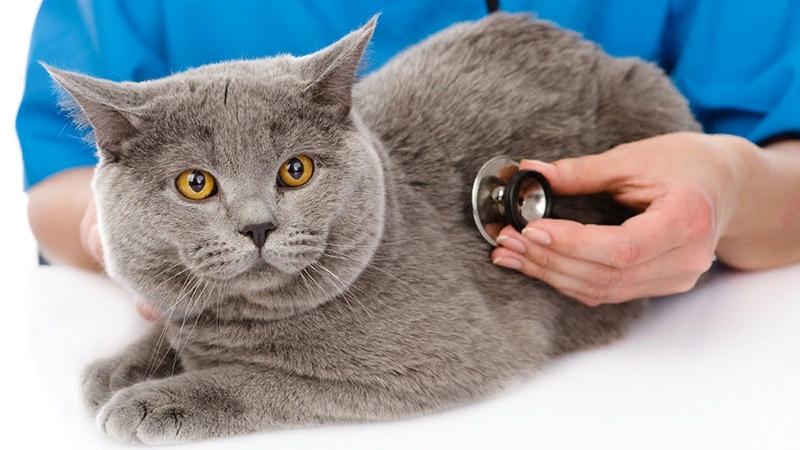 Как подготовить кота-британца к вакцинации