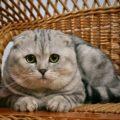 Какие прививки делают котятам шотландцам