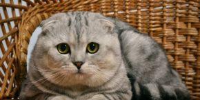 Прививки котятам шотландцам – обязательная вакцинация вашего питомца
