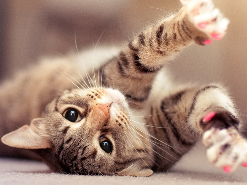 Удаление когтей у кошек