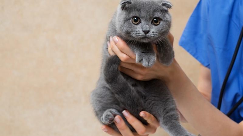 В каком возрасте делать прививку котенку шотландцу