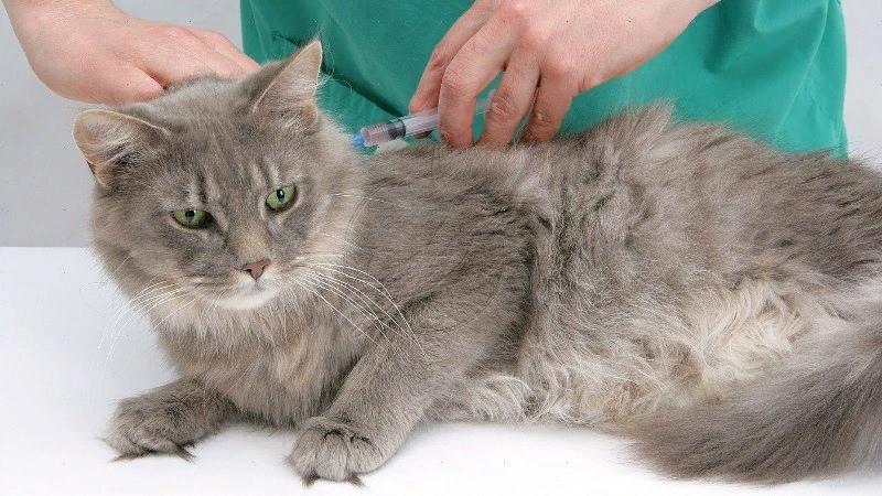Вакцинация кошек- зачем нужна