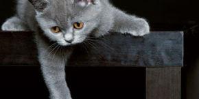 Как ухаживать за британским котенком? Содержание и кормление в квартире