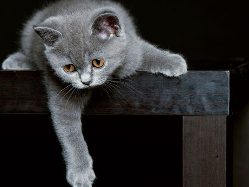 Правильный уход за котенком-британцем