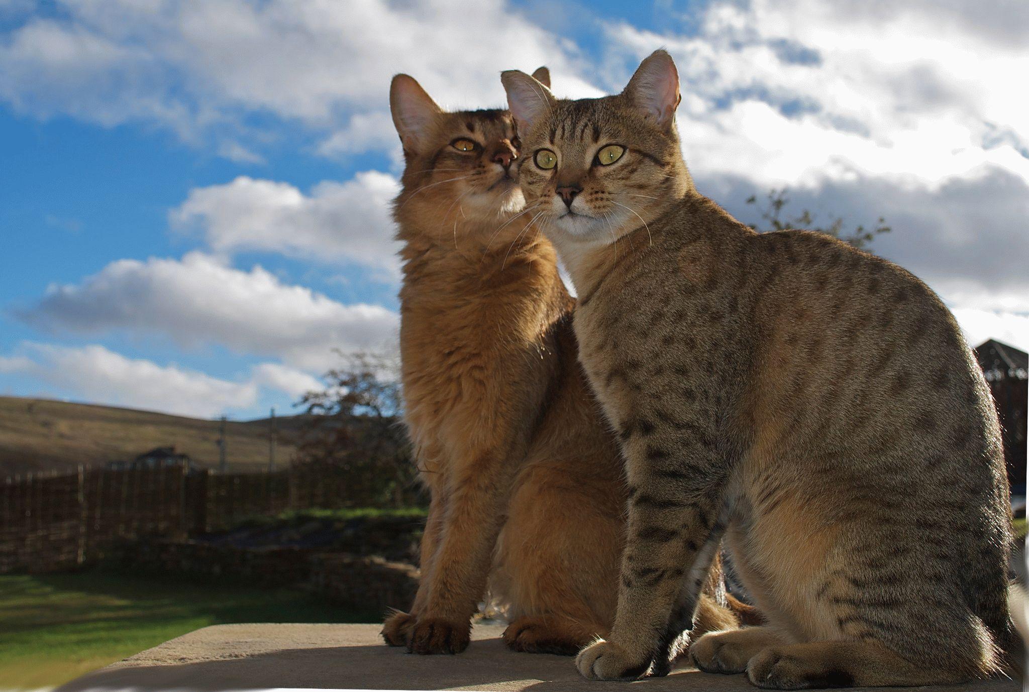 кошки мау