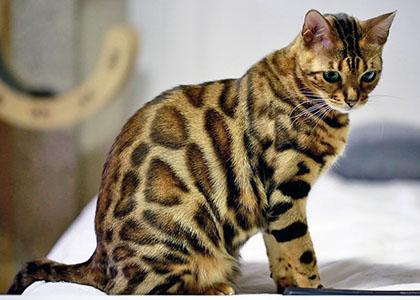 бенгальская-леопардовая