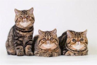 экзот-кот