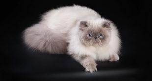 гималайская_кошка