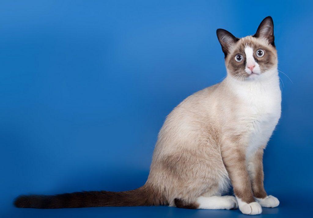 как-выглядят-кошки-сноу-шу