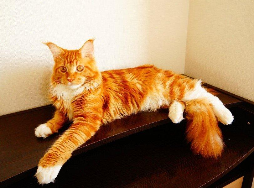 кот мейн-кун рыжий