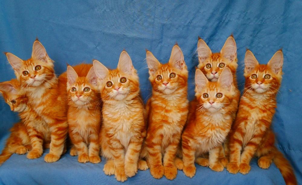 рыжий котенок мейн куна