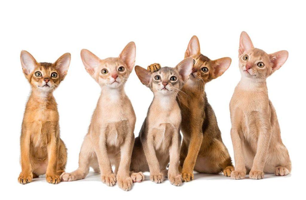 аббисинская кошка