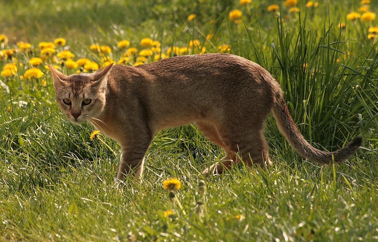 чаузи-кошка