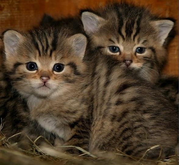 европейские лесные котята