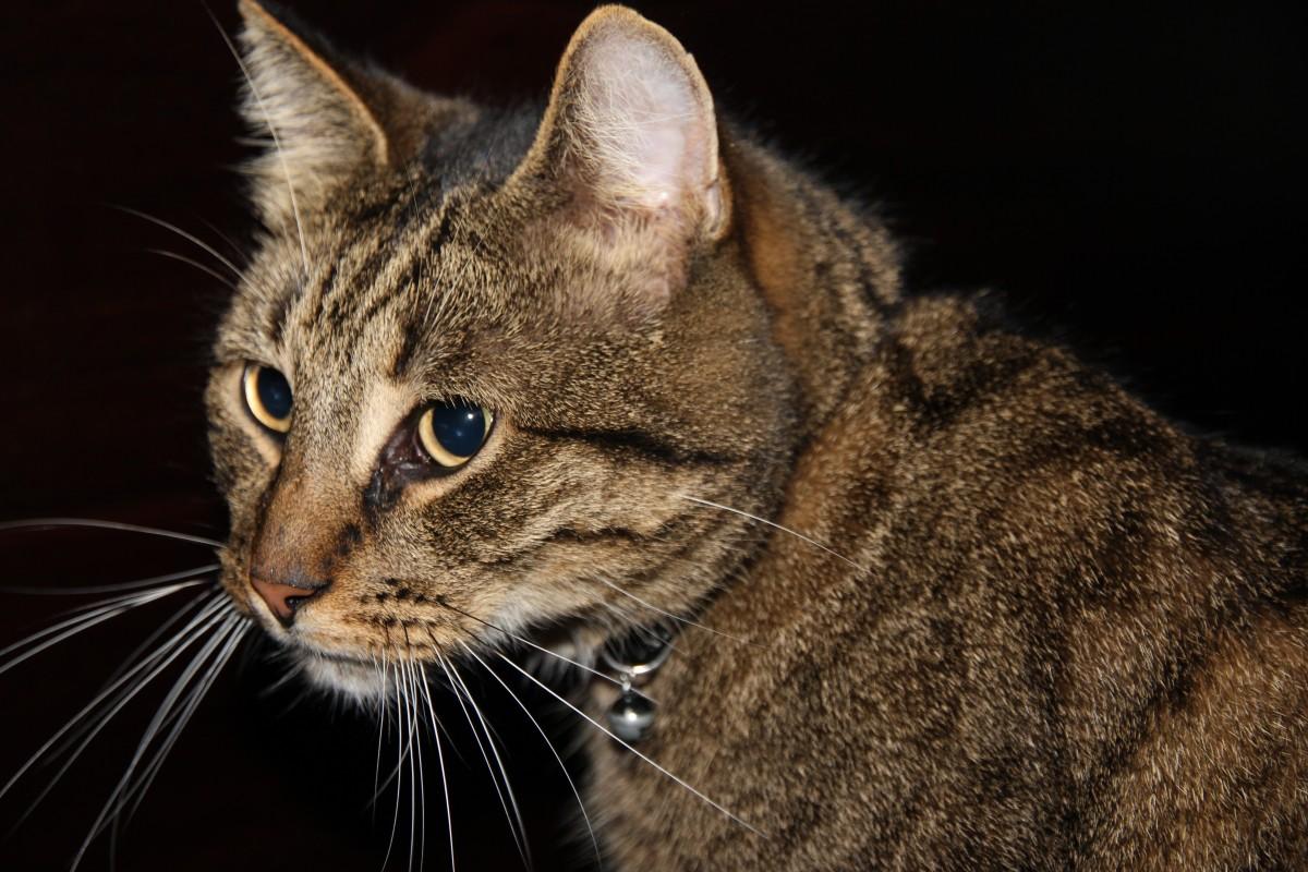 европейская короткошерстная кошка картинка лица