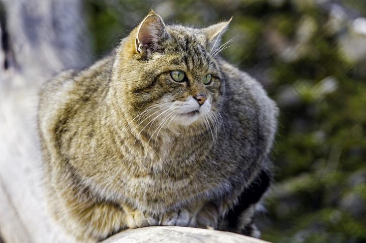 evropeyskiy-lesnoy-kot