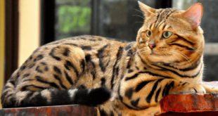 кошка как леопард