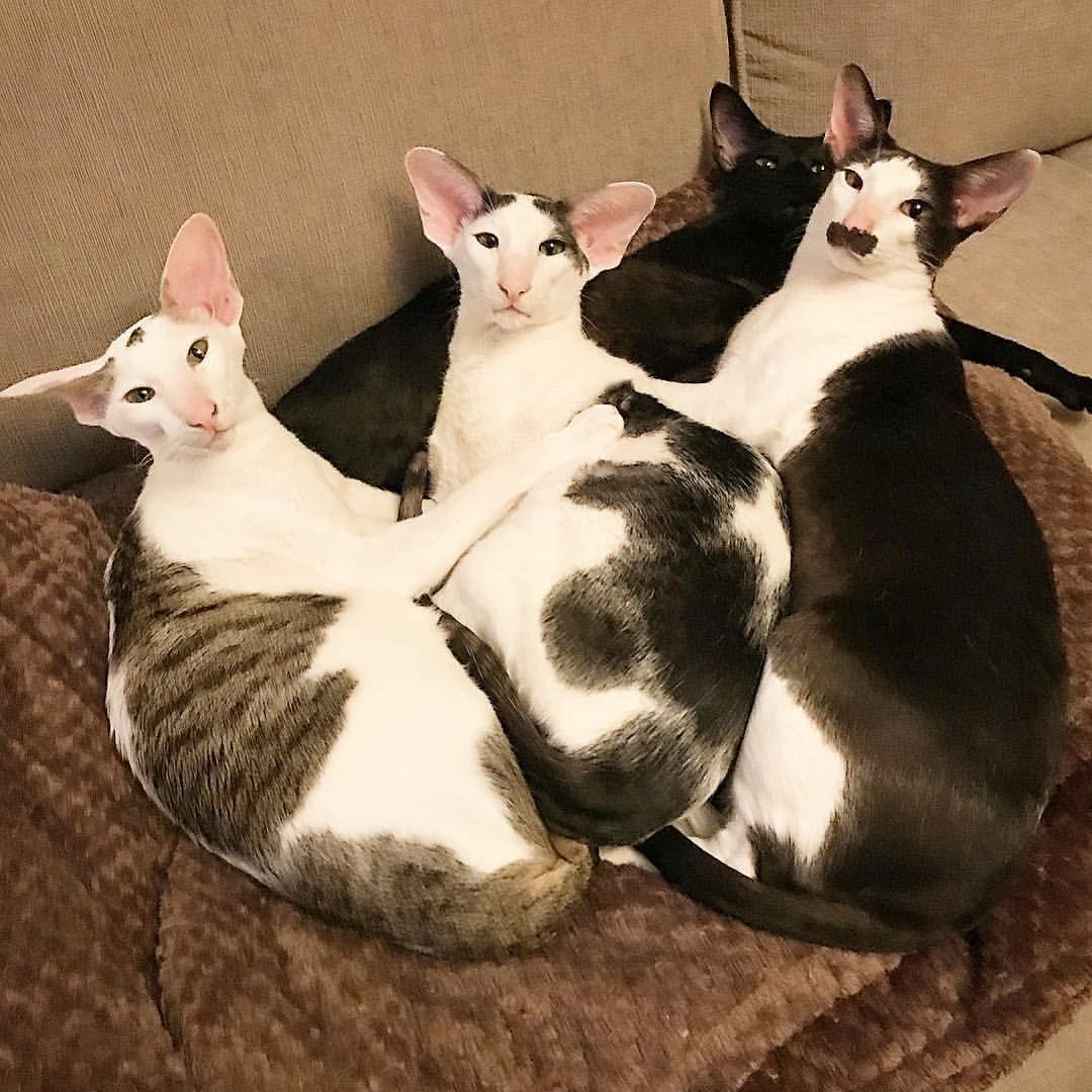 коты грузины