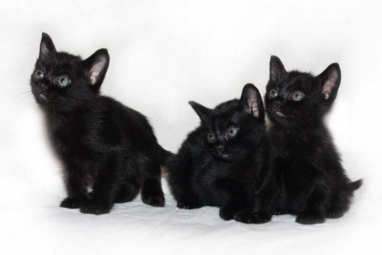 котята бомбейские