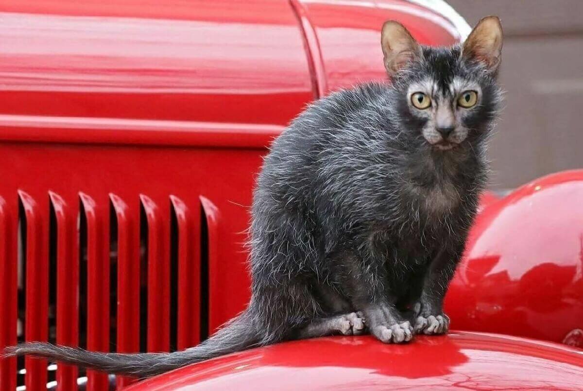 ликой кот